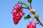 Pursh Flowering Currant (Ribes sanguineum)